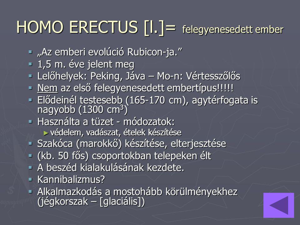 HOMO ERECTUS [l.]= felegyenesedett ember